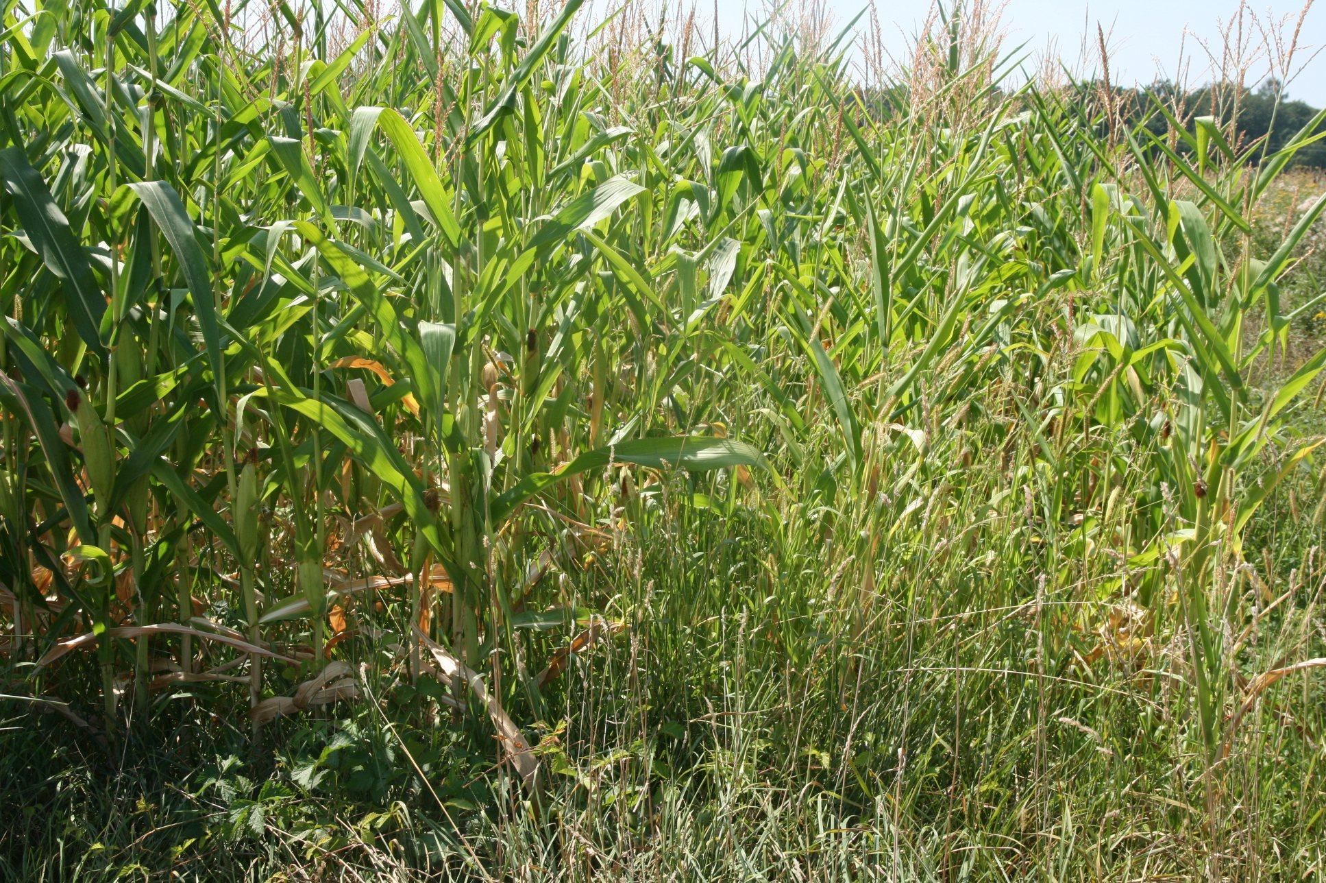 Koruza je po besedah direktorja Kmetijsko-gozdarskega zavoda v Murski Soboti Franca Režonje prizadeta na 40 odstotkih površin od 20- do 50- odstotno