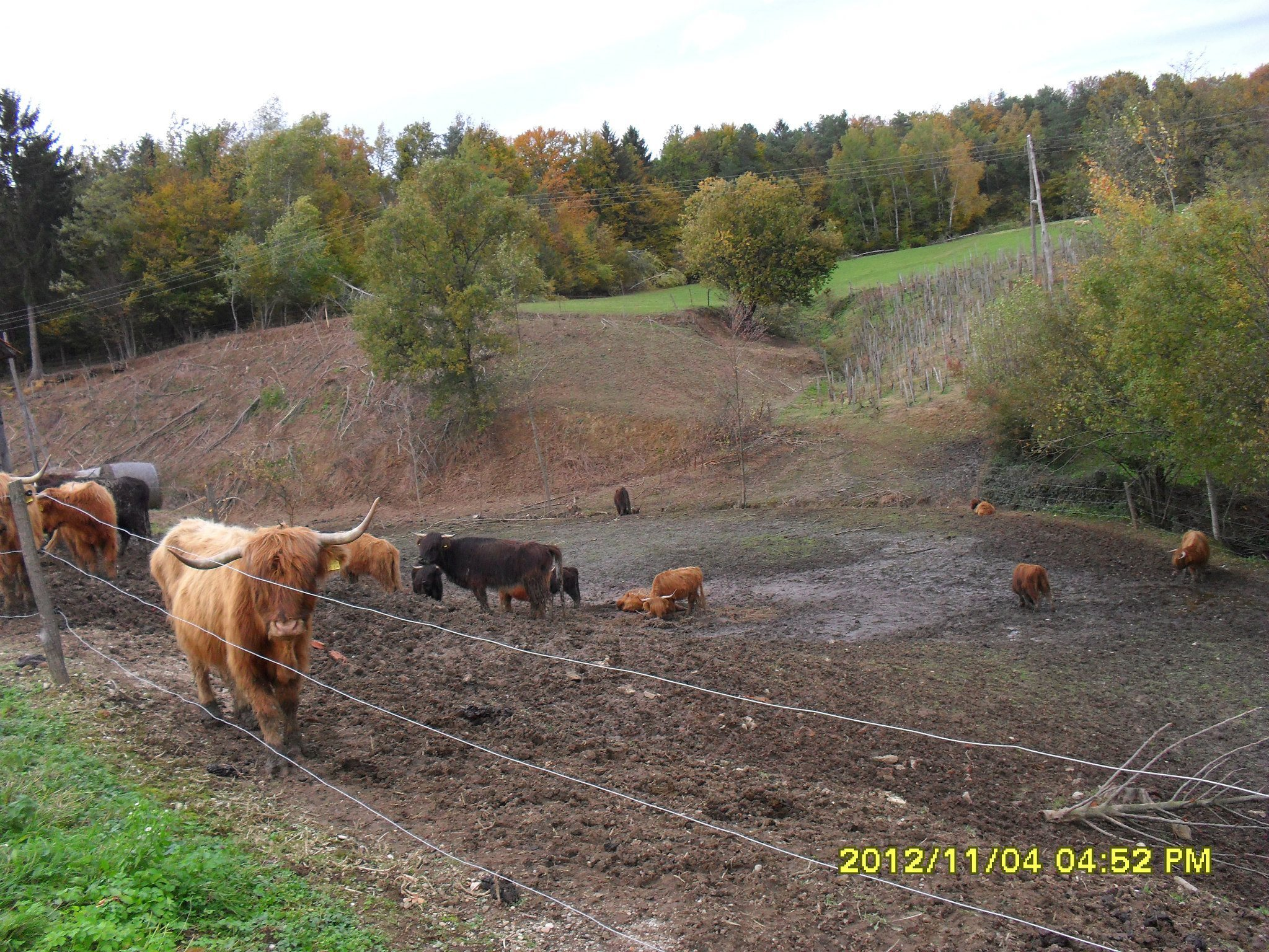 Tukaj je bivala čreda škotskega višavskega goveda!