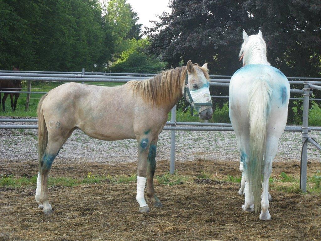 Konja