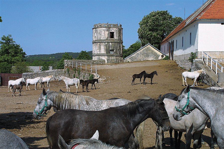 Tradicionalni dnevi kobilarne v Lipico privabijo več kot 10.000 obiskovalcev