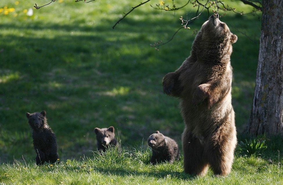 Medvedka z mladiči