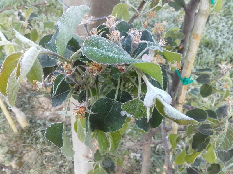 Cvetovi so od mraza porjaveli, iz njih se ne bo razvil plod.