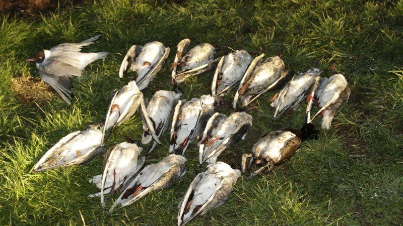 V soboto so našli okoli 130 poginulih ptic.