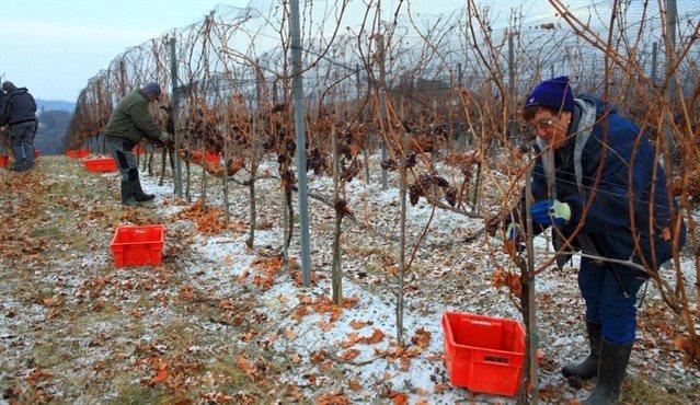 Temperatura zraka mora biti dovolj nizka, da grozdne jagode v celoti zamrznejo.