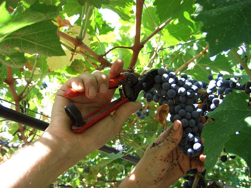 Kmetje danes za plačilo za svoje grozdje čakajo tudi več kot dve leti